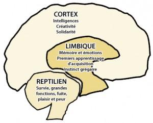 3 Cerveaux : Cortex, Limbique et Reptilien